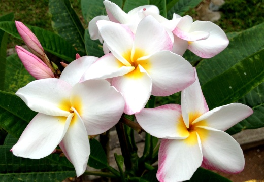 Like the Frangipani